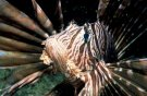 Turkeylion fish  - dangerous !!